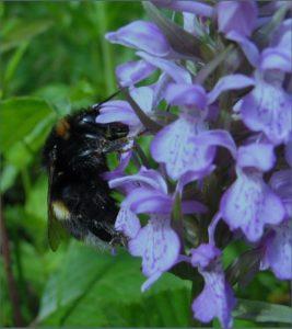 Wilde Verwandte unserer Honigbienen @ Goethe-Realschule plus